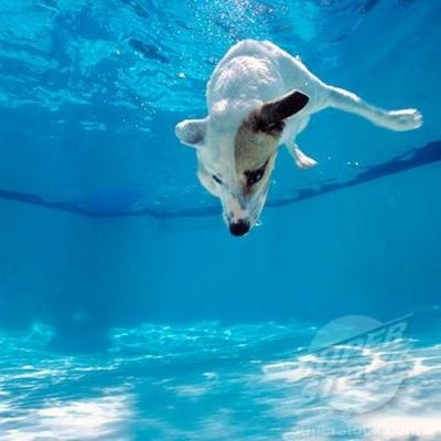 Dog Diving Into a Pool Jack Russell Dog Diving Into