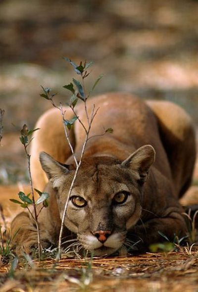 elk park cougars dating site Mountain lion hunting guide site index  feedback  proceedings of the 10th mountain lion workshop cougars:  elk, ant furbearer moose, sheep,.