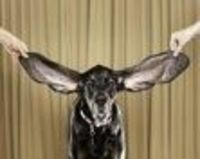 Harbor, an 8 year old coonhound from Bolder Co. displays his winning ears after winning a Guinness World Record titlefor for the Dog With The Longest Ears in Bachelor Gulch, Co.
