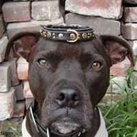 """Pitbull Terrier, """"hey - this dog collar is way too small ;-o!"""" Cute, funny picture. Pit Bull Terriers, Dog, Animals, Dogs"""