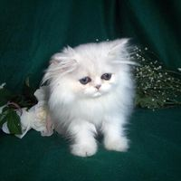 """""""My cat was born to be pampered."""" --Anonymous"""