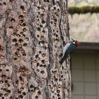This Acorn Woodpecker is tending a store of acorns in a granary tree. These birds live in groups and cache acorns up to 50,000 at a time. They monitor the granaries closely, making sure each acorn fits so snugly in its hole that squirrels can't steal ...