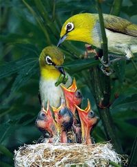 ~~ japanese white eyes with chick by john ~~