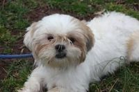 Bonnie Maltese is an adoptable Shih Tzu Dog in Princeton, NJ. Bonnie can be seen by (Email) request at Pet Valu, 601 Route 206, Hillsborough, NJ 08844, in the Nelson's Corner Shopping Center. We show ...