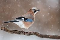 the eurasian jay (garrulus glandarius) is a species of bird occurring over a vast region from western europe through to southeast asia. it inhabits mixed woodlands, particularly with oaks, and is an habitual acorn hoarder. from emuwren