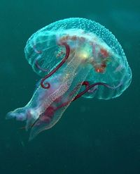 Jellyfish by vanveelen Wow...!