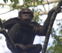 30 year old chimp in Nyungwe Forest, Rwanda.