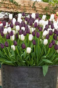 Tulips in a Container