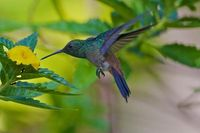 Copper Rumped Hummingbird - Tobago