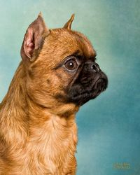 SHARPIE King of the Brussels Griffons-Breed champion At Westminster Dog Show 2013