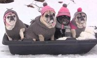 Pugs, Pompoms, and sledding